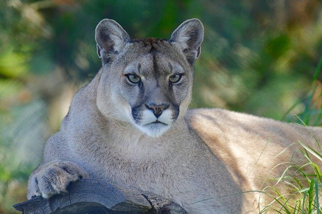 Learn about P22, a mountain lion who lives in Griffith Park (Los Angeles, CA) with the children's book The Cat That Changed America by Tony Lee Moral.
