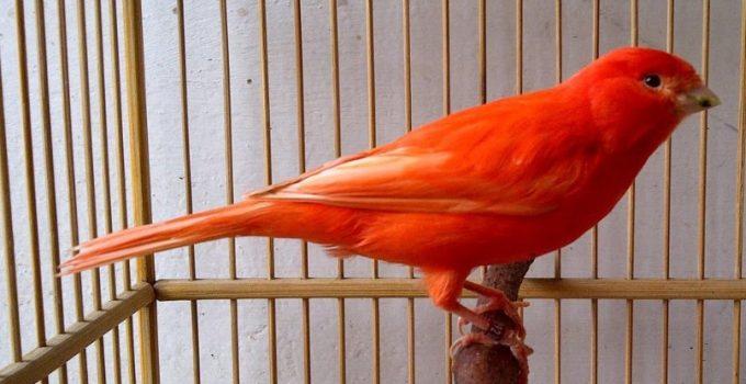 Jenis-Jenis Burung Kenari