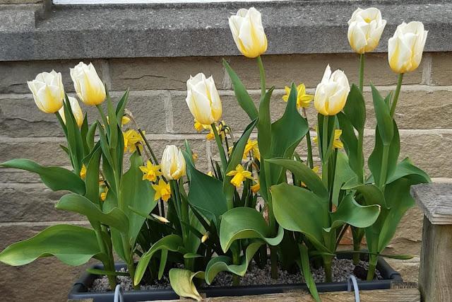 dutch tulip bulbs grown in the UK