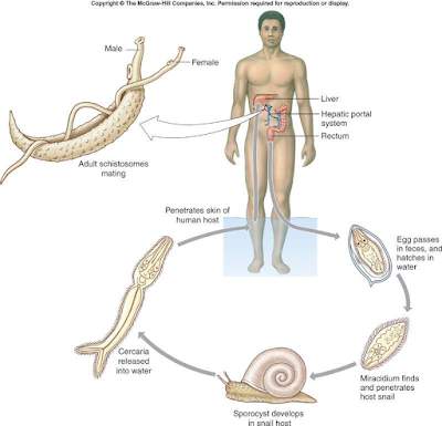 Gambar Fluke darah (Schistosoma)