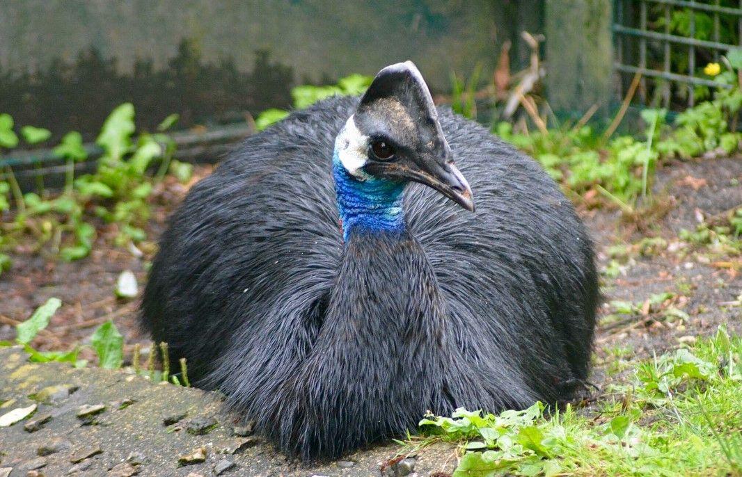 Burung Kasuari Kerdil Spesies Kasuari Terkecil Di Dunia Abangnji Com