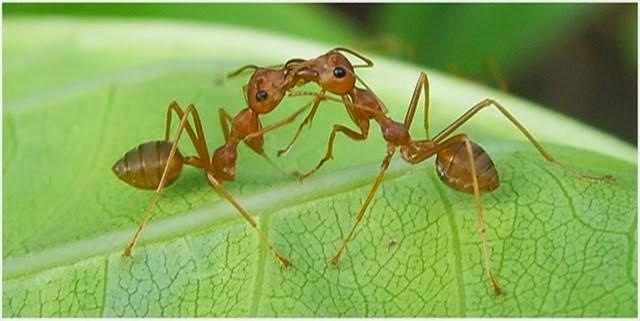 Begini Cara budidaya semut rangrang tanpa ratu