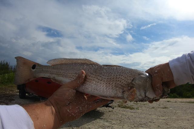 East Coast, Fish Report, Fish Reports, Fishing Report, Florida, Florida East Coast, Florida East Coast Surf Fishing, East Coast, Surf Fishing,