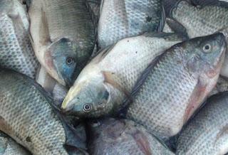 kelebihan budidaya ikan nila