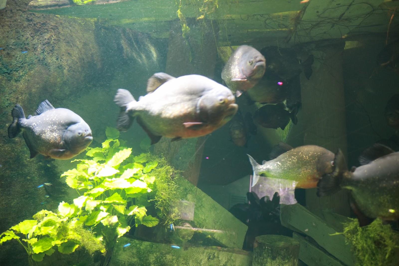 Piranha à gorge rouge