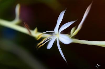 Grünlilie, Spider plant, Chlorophytum Comosum, Bimore merimangë, Spider biljka, Spider растение, Spider plante, Spider taim, Hämähäkki kasvi, スパイダープラント、,