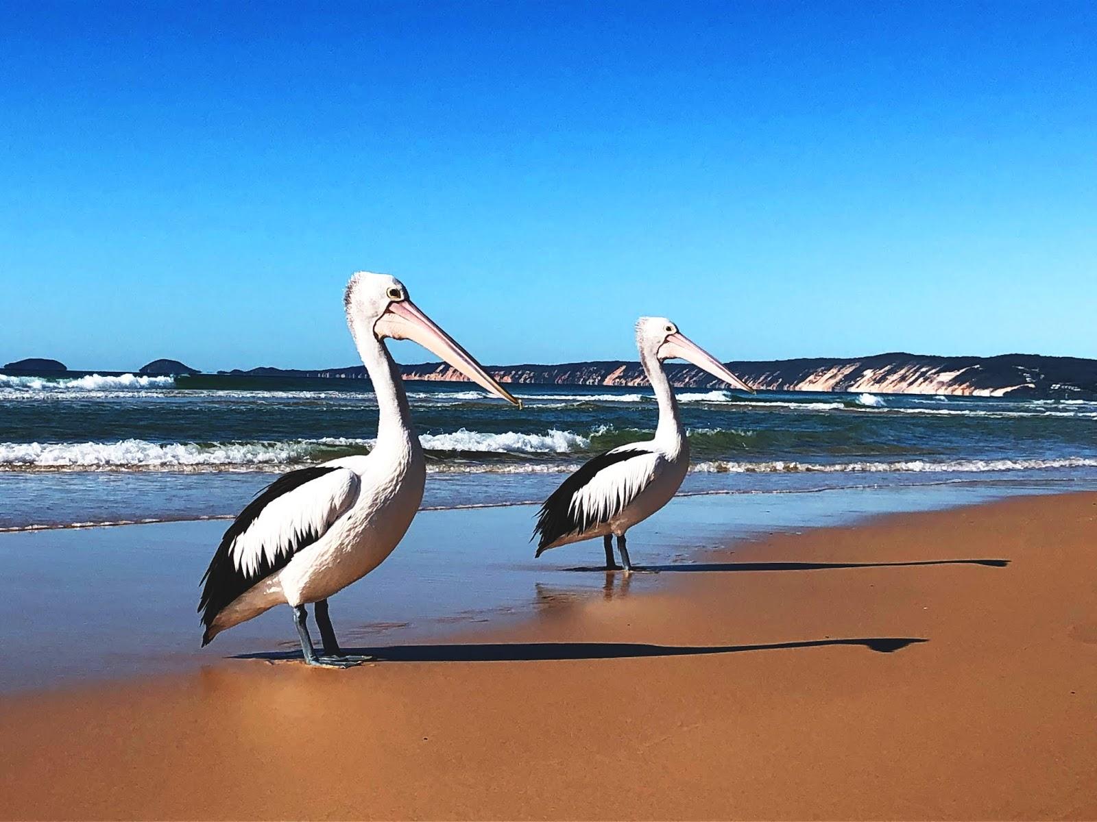 Pelikany Australijskie na plaży Rainbow Beach w Australii