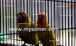 https://www.mysomer.com/2019/07/ciri-lovebird-jodoh-namun-tidak-cinta.html