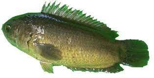 ikan bethik