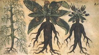 Mandragora: Legende, mituri, superstiții și medicină