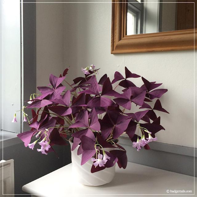 Purple-Oxalis-Plant-in-Window