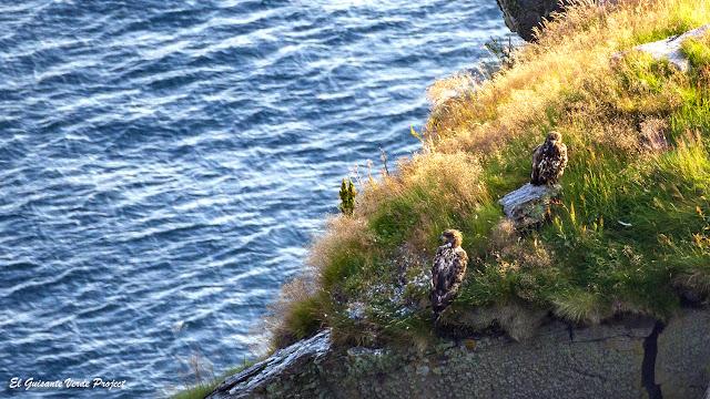 Águilas de Cola Blanca, Isla de Runde, Noruega por El Guisante Verde Project
