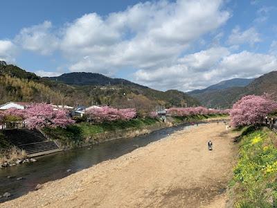 来宮橋から見た河津桜