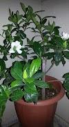 رعاية نبات الكاردينيا Gardenia