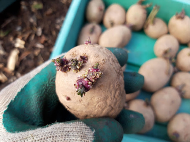 Image shows a hand in a green and cream gardening glove holding a sprouting potato