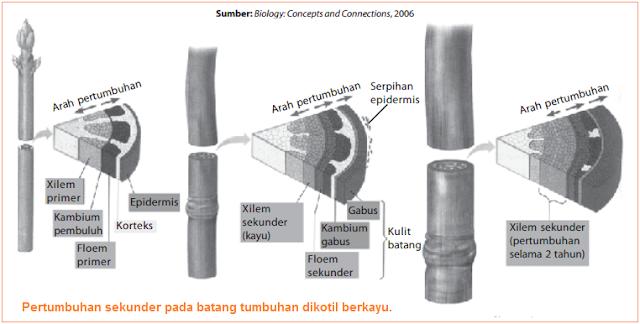 Gambar pertumbuhan sekunder pada batang dikotil berkayu