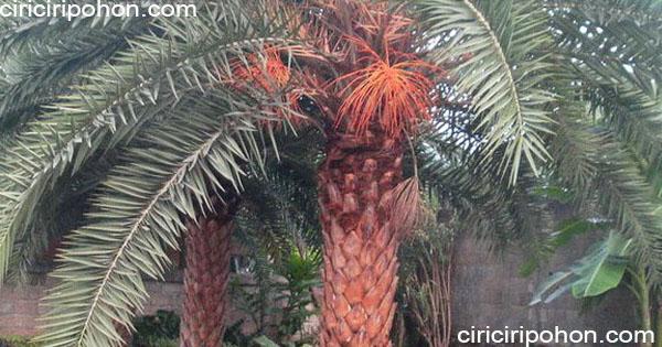 ciri ciri pohon palem kenari