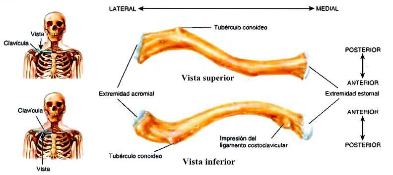 Esqueleto de la cintura escapular clavícula