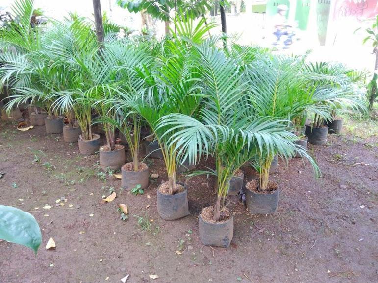 Bibit Pohon Palem Kuning Harga Murah Best Seller Banten