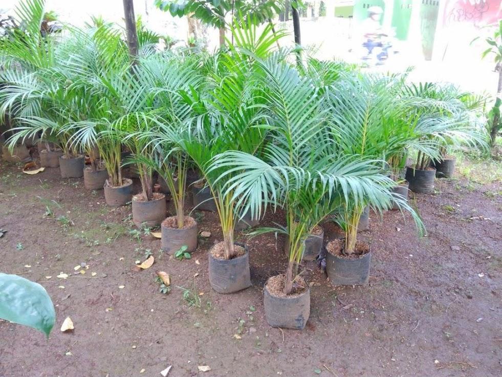 Bibit Pohon Palem Kuning Harga Murah Best Seller Kupang