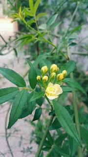 hoa hồng leo vàng