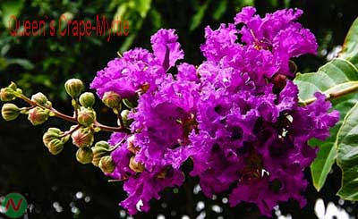 queen's crape-myrtle flower