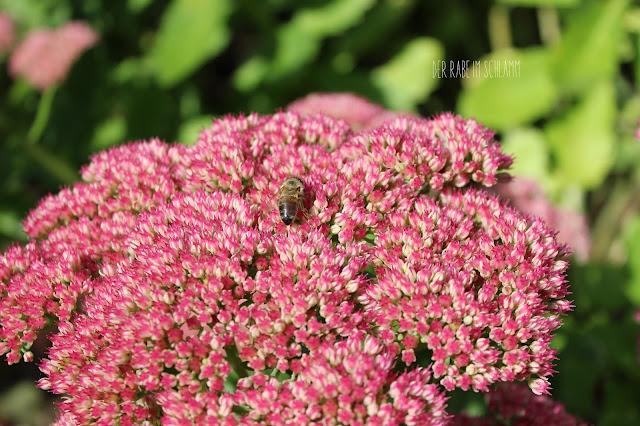Garten, Fetthenne, Garden, Bee, Biene, in meinem Garten