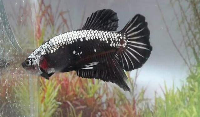 Gambar Ikan Cupang Samurai