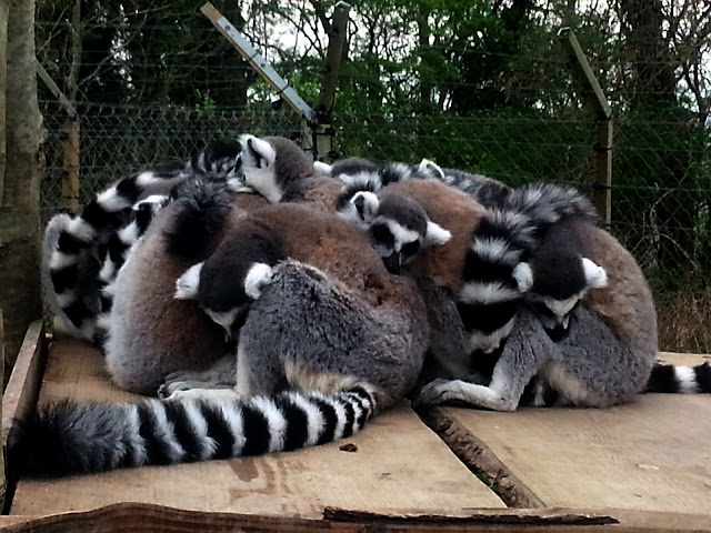 A pile of Lemurs, sleeping.