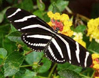 Zebra Heliconian butterfly on lantana