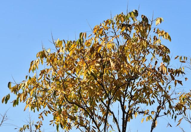 Rittha tree