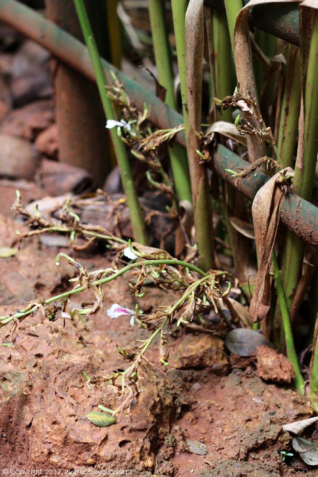 kardamon - ogrody przypraw na Sri Lance