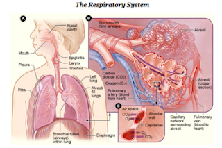 gafacom image result for The respiratory system