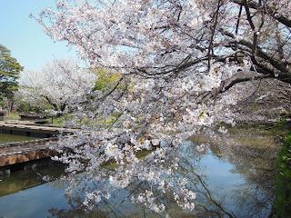 源氏池のソメイヨシノ