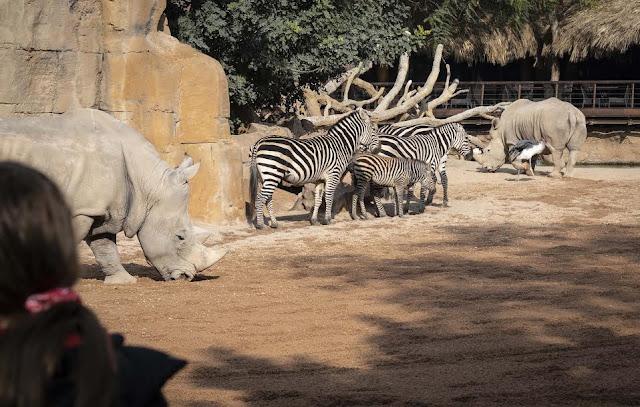 Cebras de Bioparc