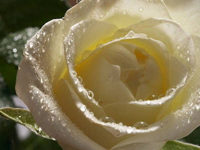 White Rose Normal Resolution HD Wallpaper 3