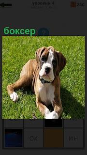 На поляне на зеленой траве расположилась собака породы боксер с ошейником