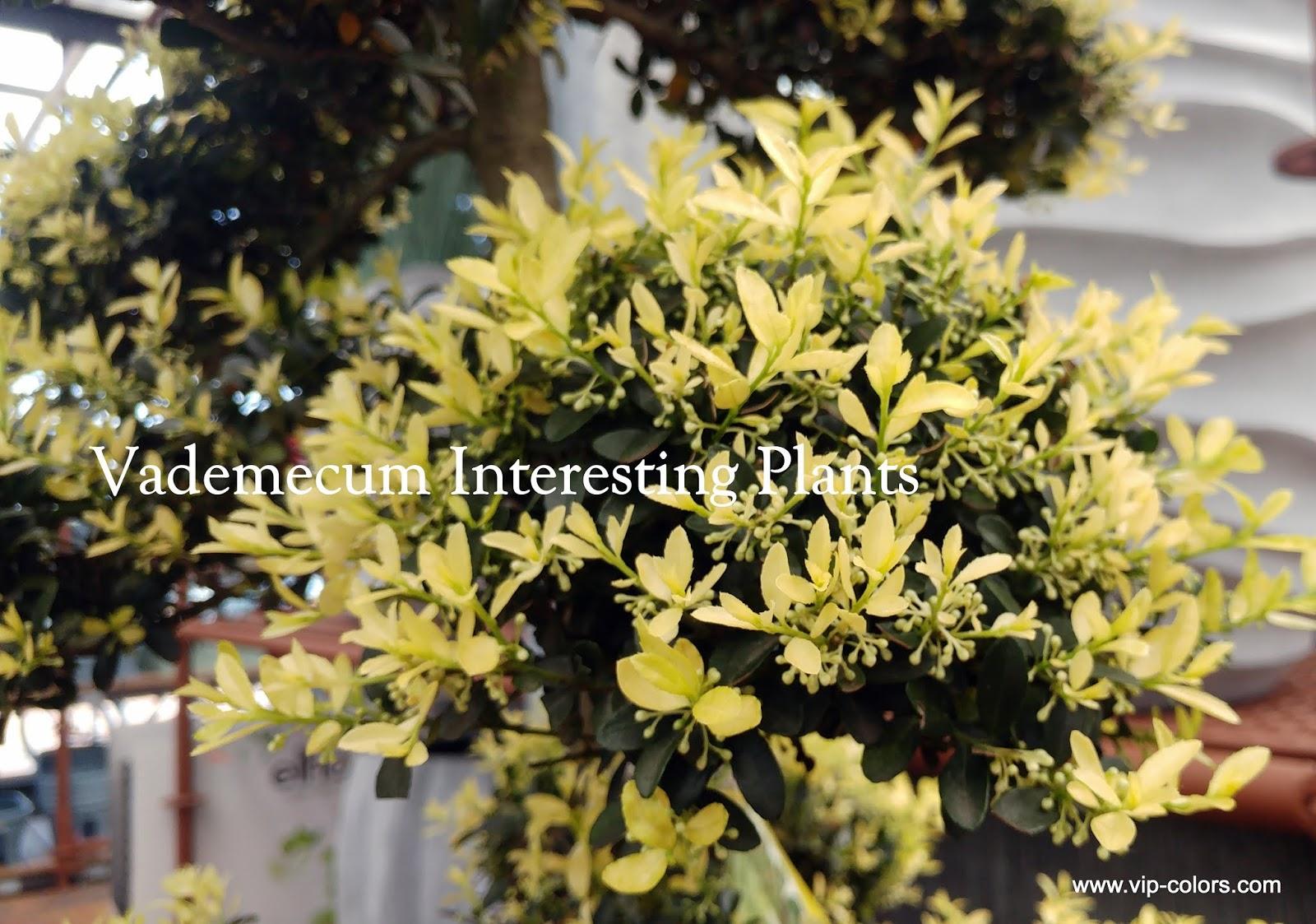 vademecum interesting plants ilex crenata ostrokrzew. Black Bedroom Furniture Sets. Home Design Ideas