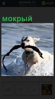 Из воды с палкой в зубах выходит мокрая собака и бежит к своему хозяину с ошейником без поводка