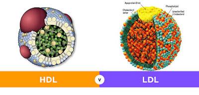 Perbedaan Antara Kolesterol HDL dan LDL
