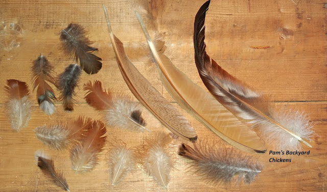 Why does a chicken lose feathers? There are so many questions about chicken feathers. Here's a helpful guide to answer those questions and more…