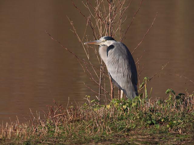 Ein Graureiher steht mit eingezogenen Hals am Ufer