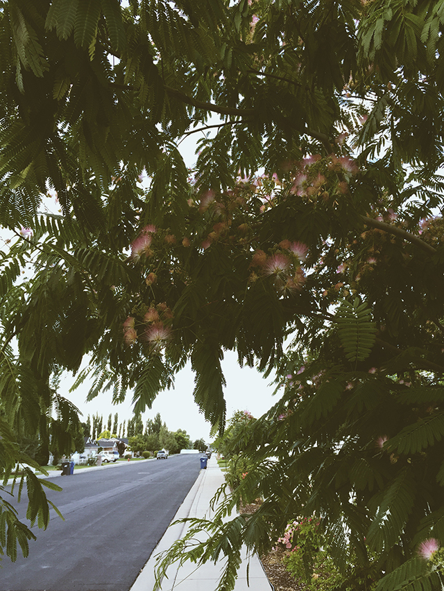 Mimosa Tree flowers and street