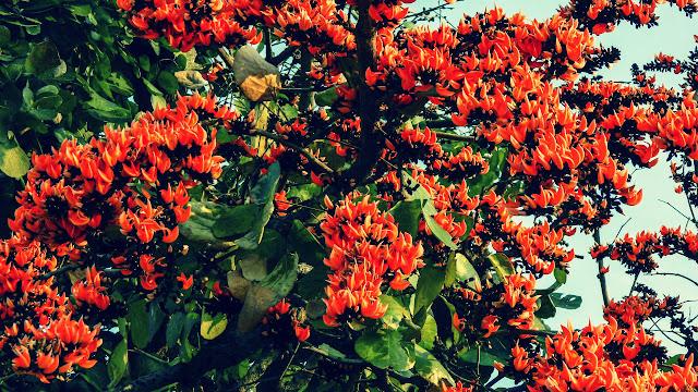 Manfaat Daun, Bunga, Kulit Ploso
