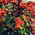 Manfaat Daun, Bunga, Kulit Ploso, Dan Resep Ramuannya