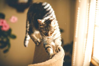 Brown tabby cat scratching the back of a chair with its claws