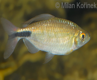 African long-finned Tetra, Brycinus longipinnis (Günther, 1864)