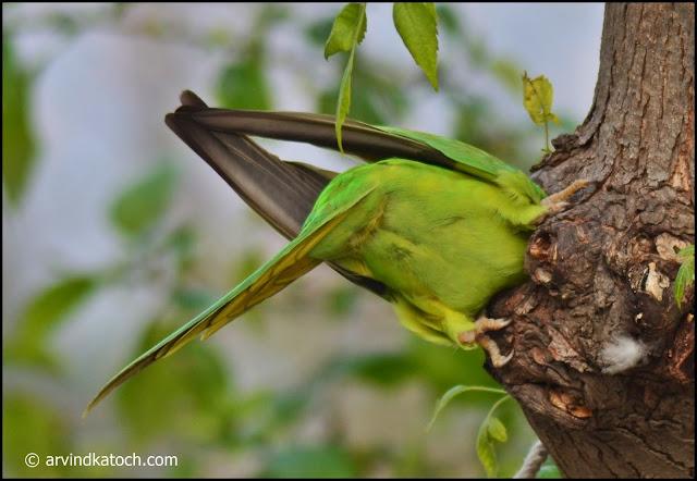 Rose-ringed parakeet, nest