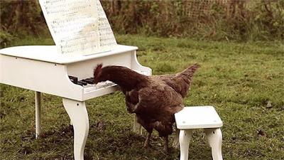 Chú Gà ở Pháp có khả năng chơi đàn đáng nể