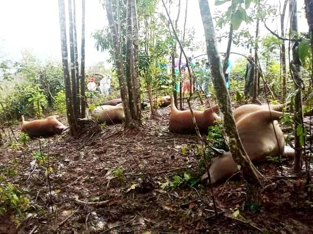 Mưa lũ, sét đánh chết 7 con bò của hộ dân đồng bào Cơtu